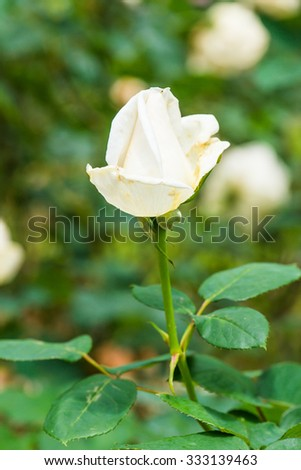 White Christmas Rose or White Rose in Garden, Thailand. - stock photo