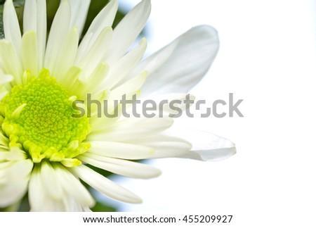 White chrysanthemum flower, macro - stock photo