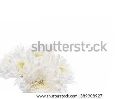 White chrysanthemum flowers isolated on white background. - stock photo
