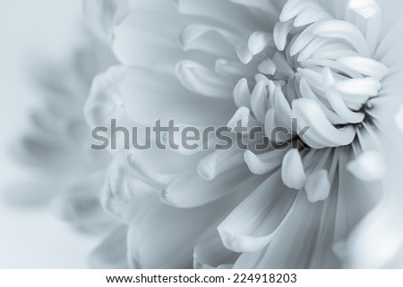 White chrysanthemum petals - stock photo