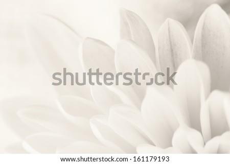 White chrysanthemum petals macro shot - stock photo