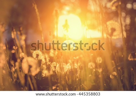 White clock dandelions on a sunset background - stock photo