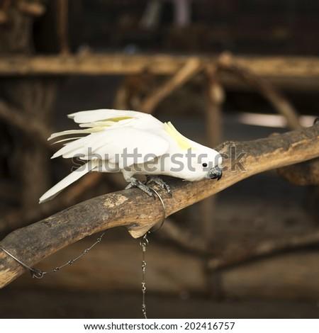 White Cockatoo - stock photo