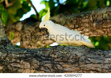 White cockatoo eat on a tree branch in Port Douglas in the tropical north of Queensland , Australia. - stock photo