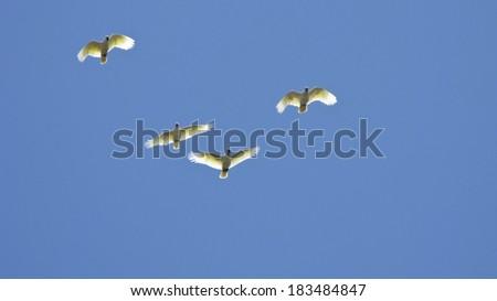 White cockatoo in flight - stock photo