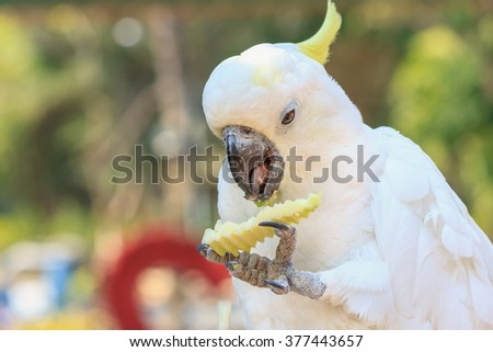 White Cockatoo. Sulphur crested Cockatoo (Cacatua galerita) - stock photo