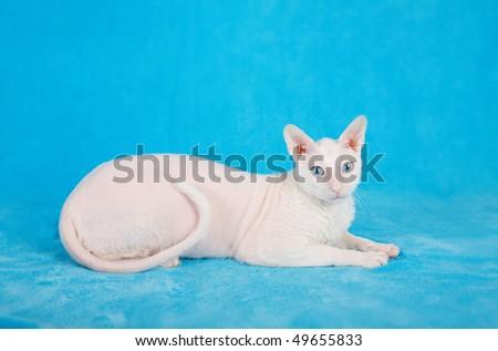 White  cornish-rex on blue background - stock photo