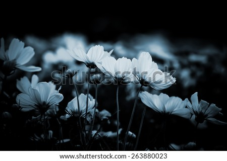 White cosmos flowers in the garden at night is blurry flocus - stock photo