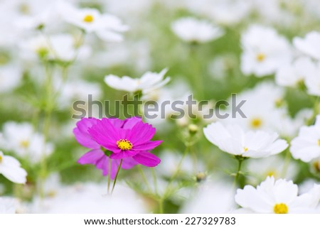 white cosmos flowers  surrounding a pink flower - stock photo