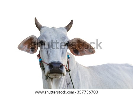 white cow look into camera, isolated white background - stock photo