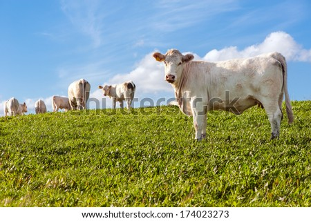 White cows in the green field - stock photo
