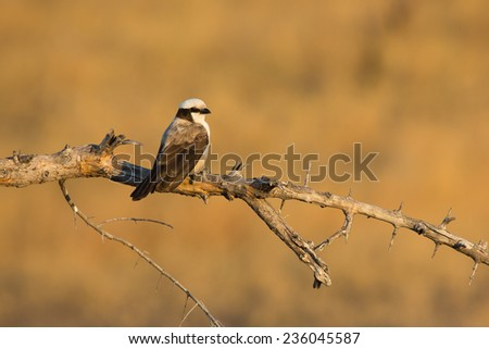 White-crowned shrike perched on a branch. - stock photo