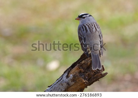 White-crowned Sparrow (Zonotrichia leucophrys) perched on a dead branch during spring migration - Ontario, Canada - stock photo