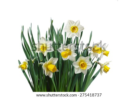 White daffodil narcissus jonquil flower plants isolated - stock photo