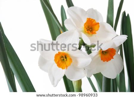 White daffodils, narrcisus, with orange centers. - stock photo