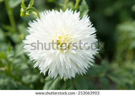 White Dahila, selective focus.Dahlia is a genus of bushy, tuberous, herbaceous perennial plants native mainly in Mexico, but also Central America, and Colombia.  - stock photo