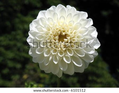 White dahlia - stock photo