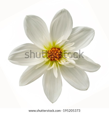 white dahlia close up - stock photo