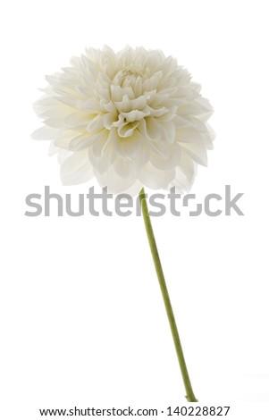 white dahlia in studio - stock photo