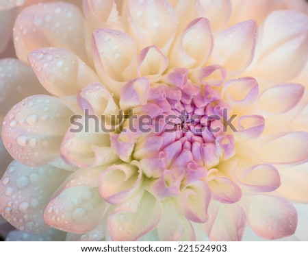 White dahlia with water drops. Close-up. Selective focus with shallow depth of field. - stock photo