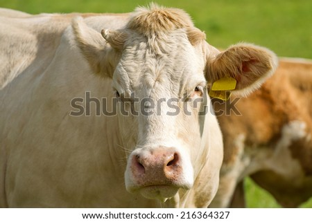 White dairy cows in pasture - stock photo