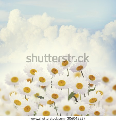 White Daisies Against the Sky - stock photo