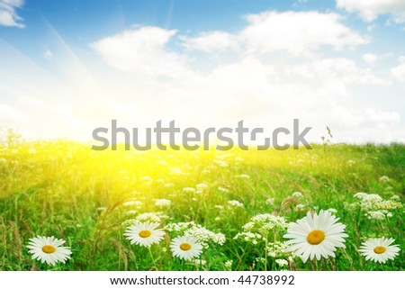 White daisies and sun. - stock photo