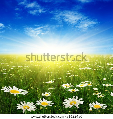 White daisies,blue sky and sun. - stock photo
