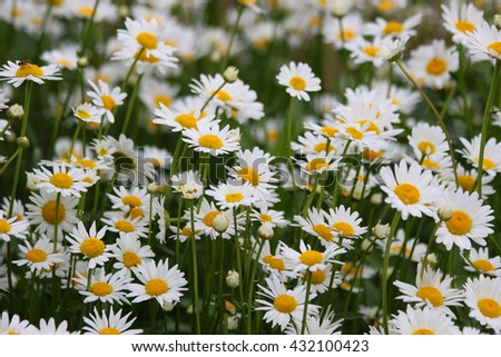White daisies in summer on a green flowerbed - stock photo