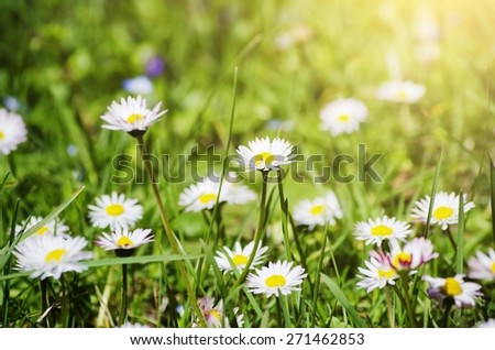 White Daisies Over Sun Background - stock photo