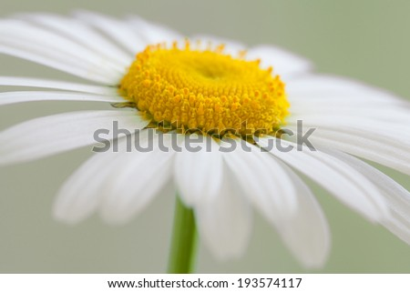 White daisy - stock photo