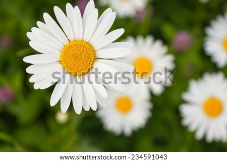 White daisy blossoms blooming on a meadow - stock photo