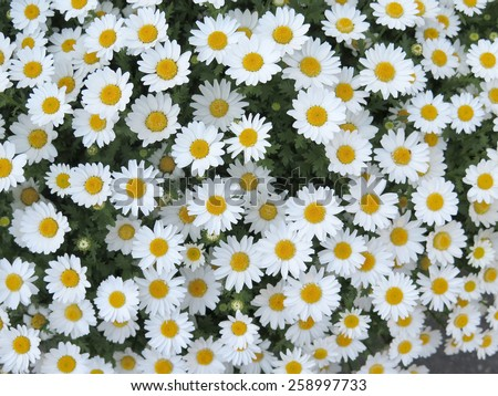 white daisy flower texture background - stock photo
