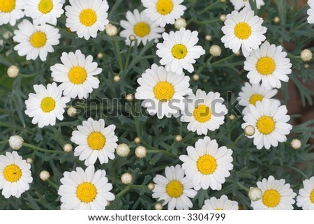 White daisy flowers taken from above. - stock photo