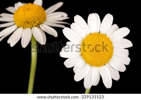 White daisy on a black background - stock photo