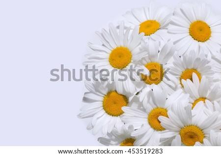 White daisy on white background - stock photo