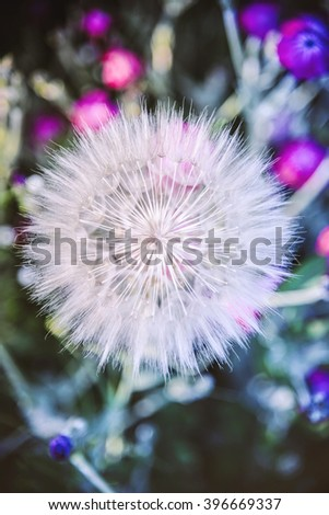 White dandelion flower on colorful nature background with small pink flowers/Dandelion - stock photo