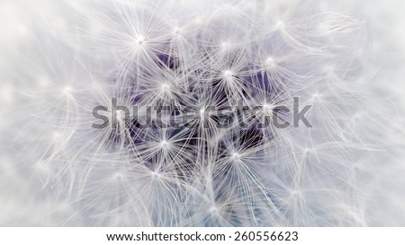 White Dandelion Flower Parachutes Macro (16:9 Aspect Ratio) - stock photo