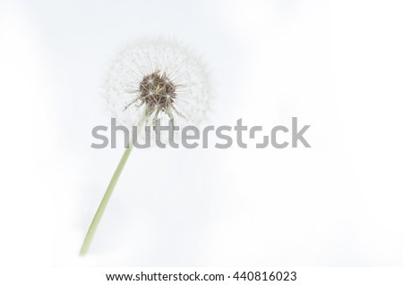White dandelion isolated on the white background - stock photo