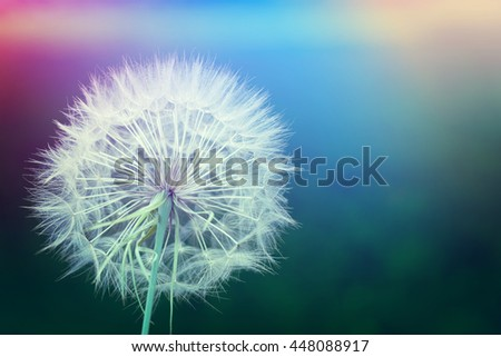 White dandelion on a blurred background. Toned - stock photo