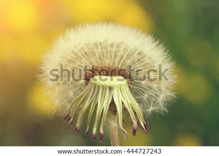 White dandelion with sunlight close up - stock photo