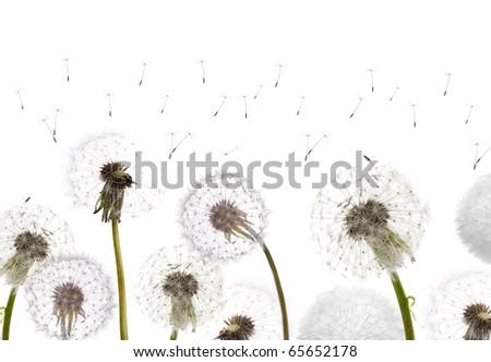 white dandelions isolated on white background - stock photo