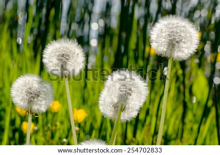 White dandelions on a bright green background with bokeh macro - stock photo