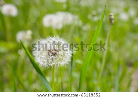 White dandelions on a green grass - stock photo