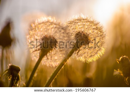 White dandelions on green meadow in spring - stock photo