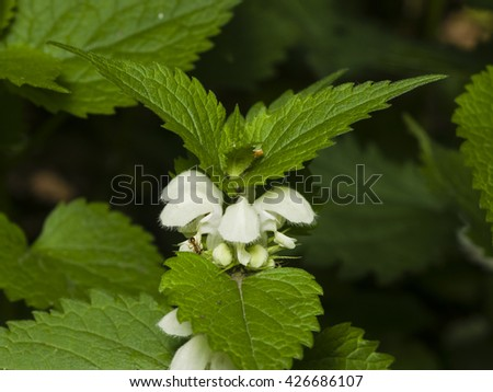 White dead-nettle, Lamium album, weed blooming close-up, selective focus, shallow DOF - stock photo