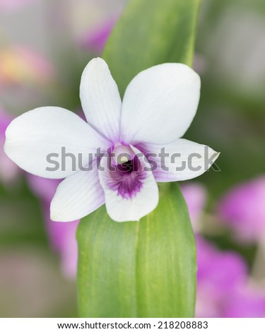 White dendrobium orchid with green leaves close up - stock photo