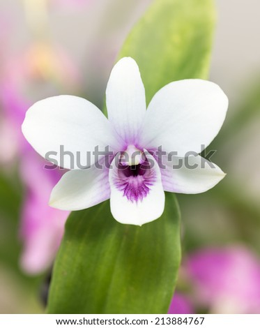 White dendrobium orchid with orchid leaves close up  - stock photo