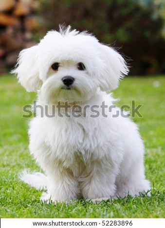 white dog - stock photo