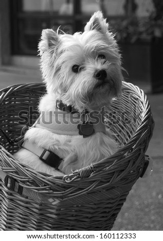 White dog in bike basket - stock photo
